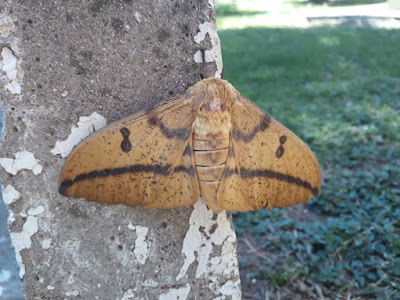 Polilla imperial (Eacles imperialis)
