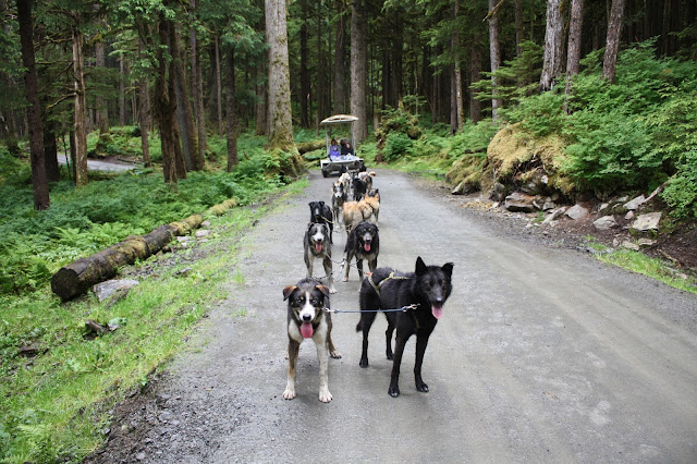 Alaskan huskies ready to pull the summer dog sled.