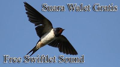 Suara Walet Gratis Full Durasi On YOUTUBE