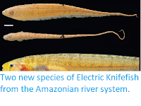 https://sciencythoughts.blogspot.com/2014/12/two-new-species-of-electric-knifefish.html