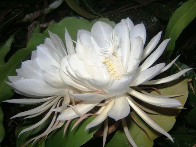 Kadupul (Epiphyllum oxypetalum)
