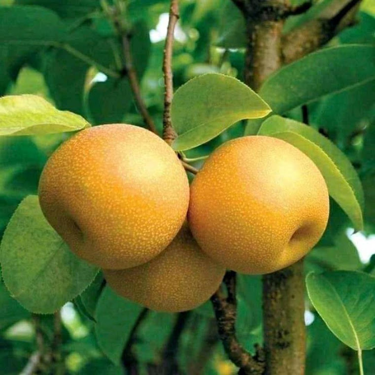 bibit buah pear choklat Jawa Timur