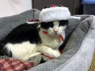 Randy the cat in a winter hat. Bideawee.org