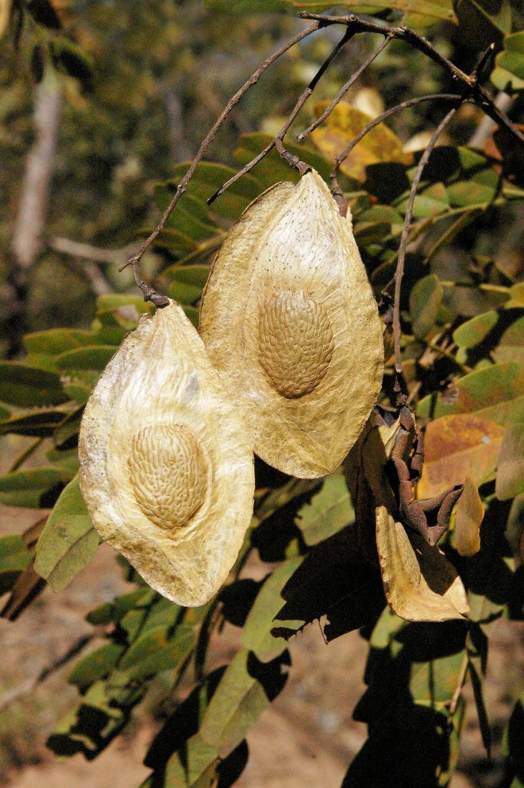 Sucupira (Pterodon emarginatus)