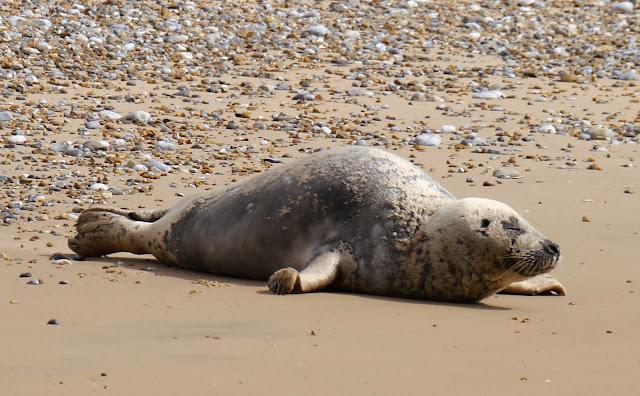 Pregnant seal