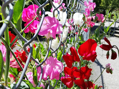 Sweat Peas behind Christ Church Cathedral