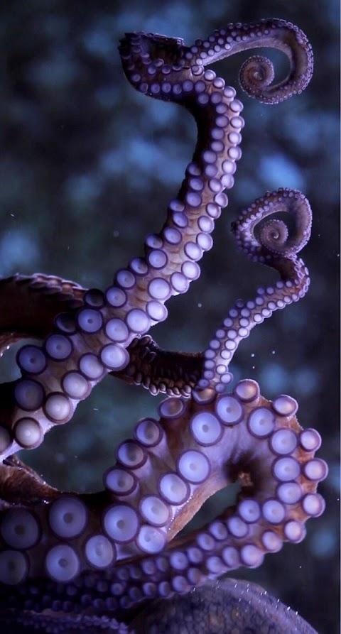 Xúc tu bạch tuộc