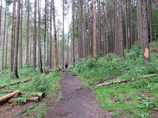 Las pod Tomášovským výhľadom.