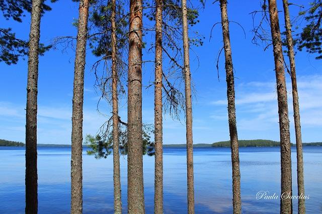 Mäntyjä ja Kuolimojärvi