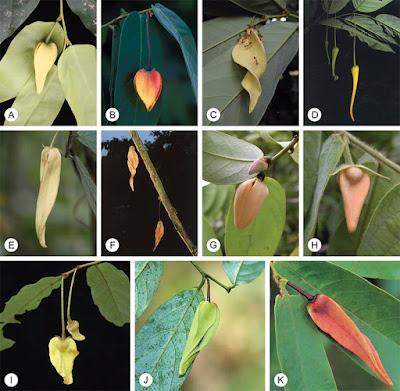 รายชื่อต้นไม้ สกุลบุหรง Dasymaschalon วงศ์กระดังงา Annonaceae ของไทย