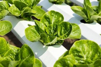 Cara membuat Nutrisi Organik Untuk Hidroponik