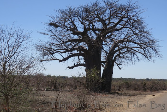 Baobab near Punda Maria (but not the Baobab Hill one)