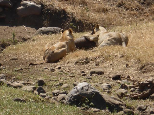 P.N. Ngorongoro - Leonas devorando una presa (Tanzania)