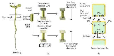 How auxin works?