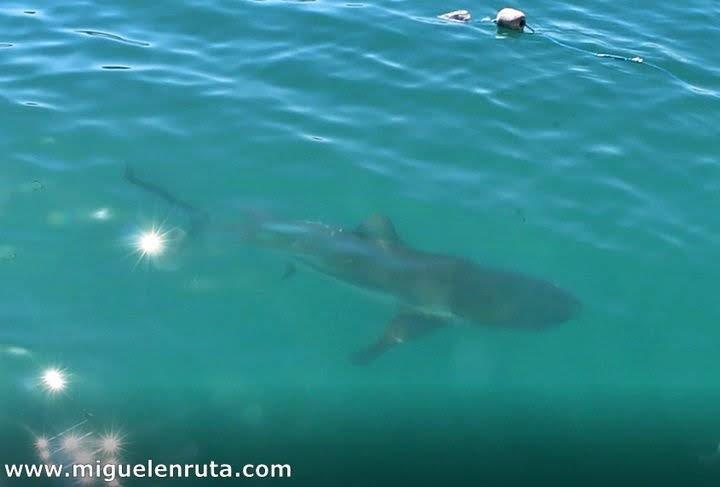 Tiburon-bronce-desde-barco-Dyer-Island-Sudafrica