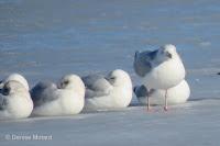 Herring gulls resting on ice with an eye open, PEI, Canada - © Denise Motard