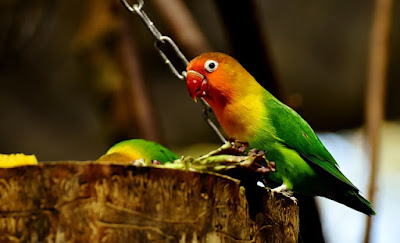 All About Lovebirds: Lovebirds species and Care