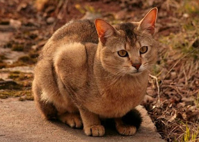 Perawatan Kucing Chausie