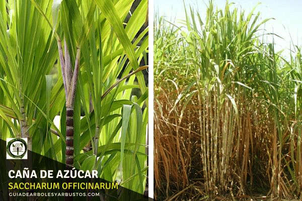 Caña de Azúcar, Saccharum officinarum, es una planta perenne que alcanza una altura de 3 a 4 m