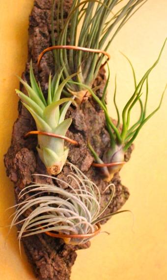 Garden craft: Air plant wall hanging