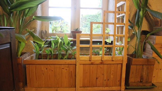 Overwintering organic turmeric in containers and a trellis planter