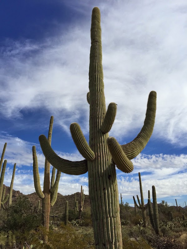 tall saguaro cactus at Saguaro National Park