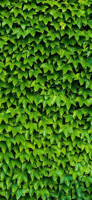 edera, foglie verdi, natura, texture