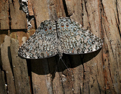 Mariposa chasqueadora gris (Hamadryas februa)