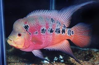 ikan lo han