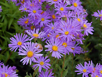 Asters, photo by Hectonichus, Wikimedia