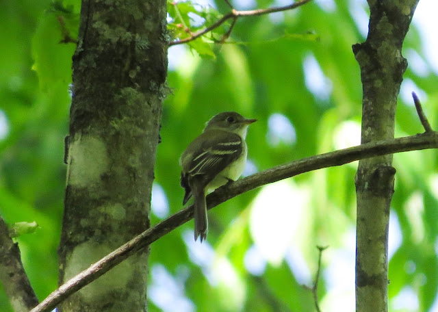 Least Flycatcher - Hulbert Bog, Michigan, USA