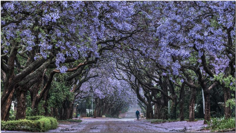 The Purple Paradise, Pretoria in South Africa is popularly known as the Jacaranda City due to the thousands of Jacaranda trees planted in its streets, parks and gardens. This is the months of October and November, Pretoria is transformed into a glowing purple mass - around 40 000 and 70 000 Jacaranda trees in Pretoria are in bloom! Jacarandas line the streets and dot the parks and gardens throughout the city and purple carpet their floors with their bee-attracting blossoms.