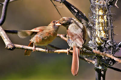 Photo of female Northern Cardinal feeding her fledgling on a branch