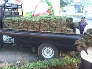 HARGA RUMPUT TAMAN GAJAH MINI DAN JEPANG TERBARU TAHUN 2018-2019