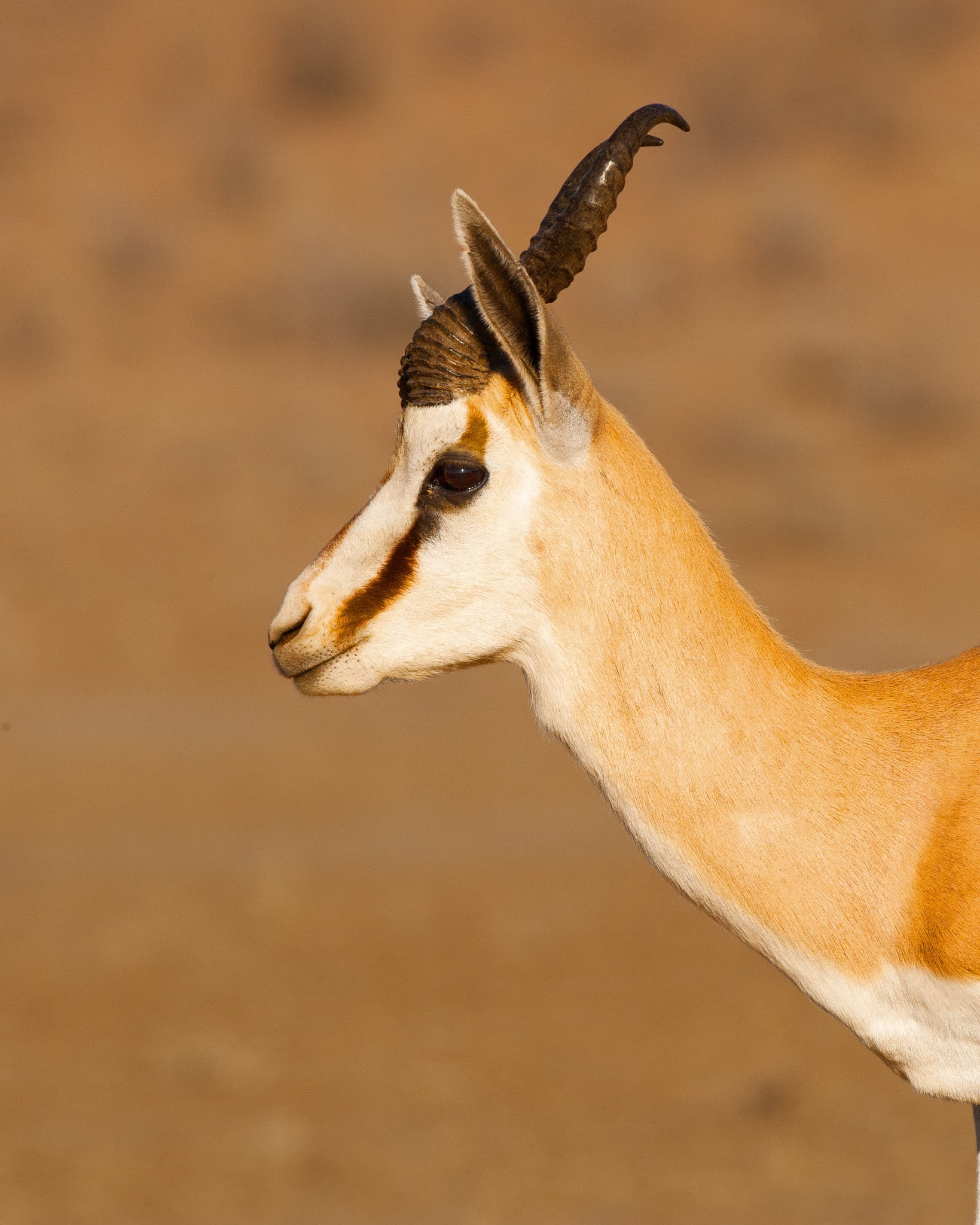 100+ Springbok's HD Pictures - World Fastest 3rd Land Animals