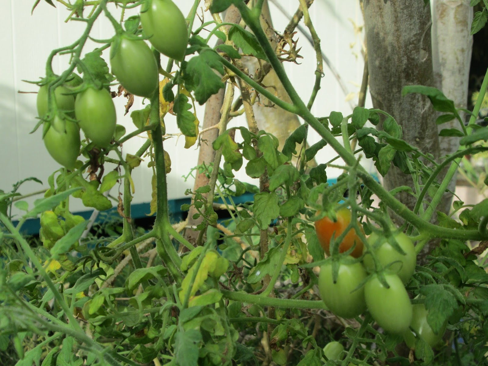 Garden Notes From Hawaii Grape Tomatoes