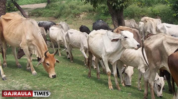 cow-picture-in-tigri
