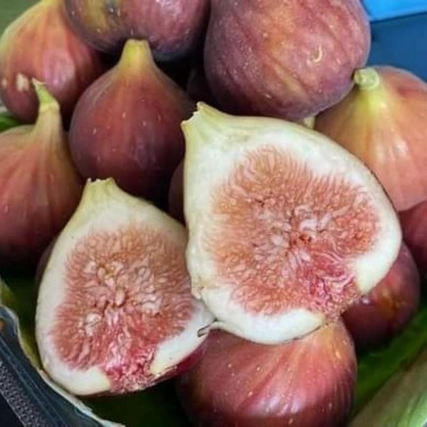 Bibit buah tin Jumbo Red Palestine sangat produktif Banjarbaru