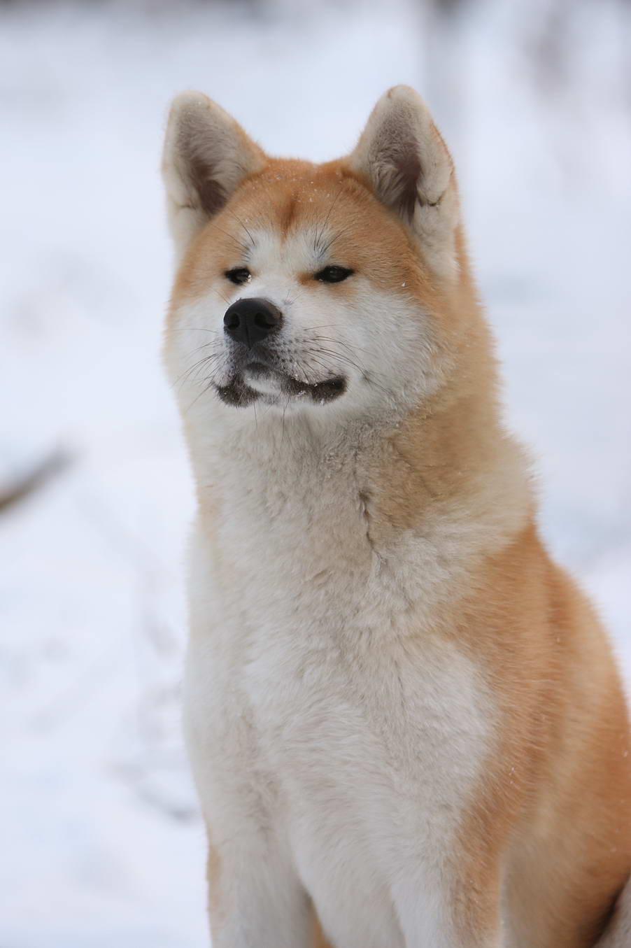 Собаки: Акита Ину