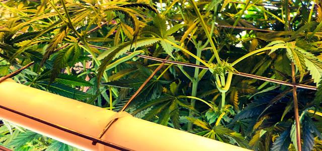 procedimento-per-potare-coltivare-con-lo-scrog