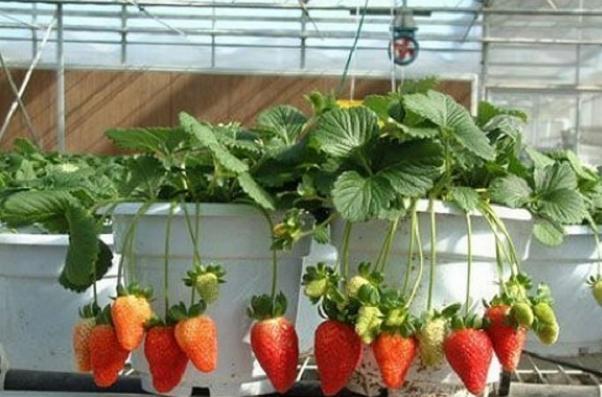 Gimana Berkebun Strawberry di Pot