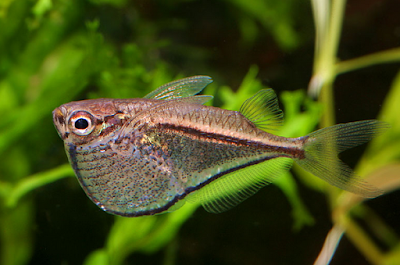 Ikan Silver Hatchet
