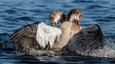 Egyptian Geese Action Photography - Woodbridge Island, Cape Town