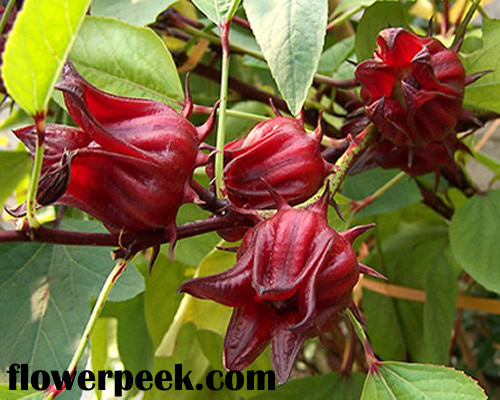 Tips on how to grow and care for Roselle Plants