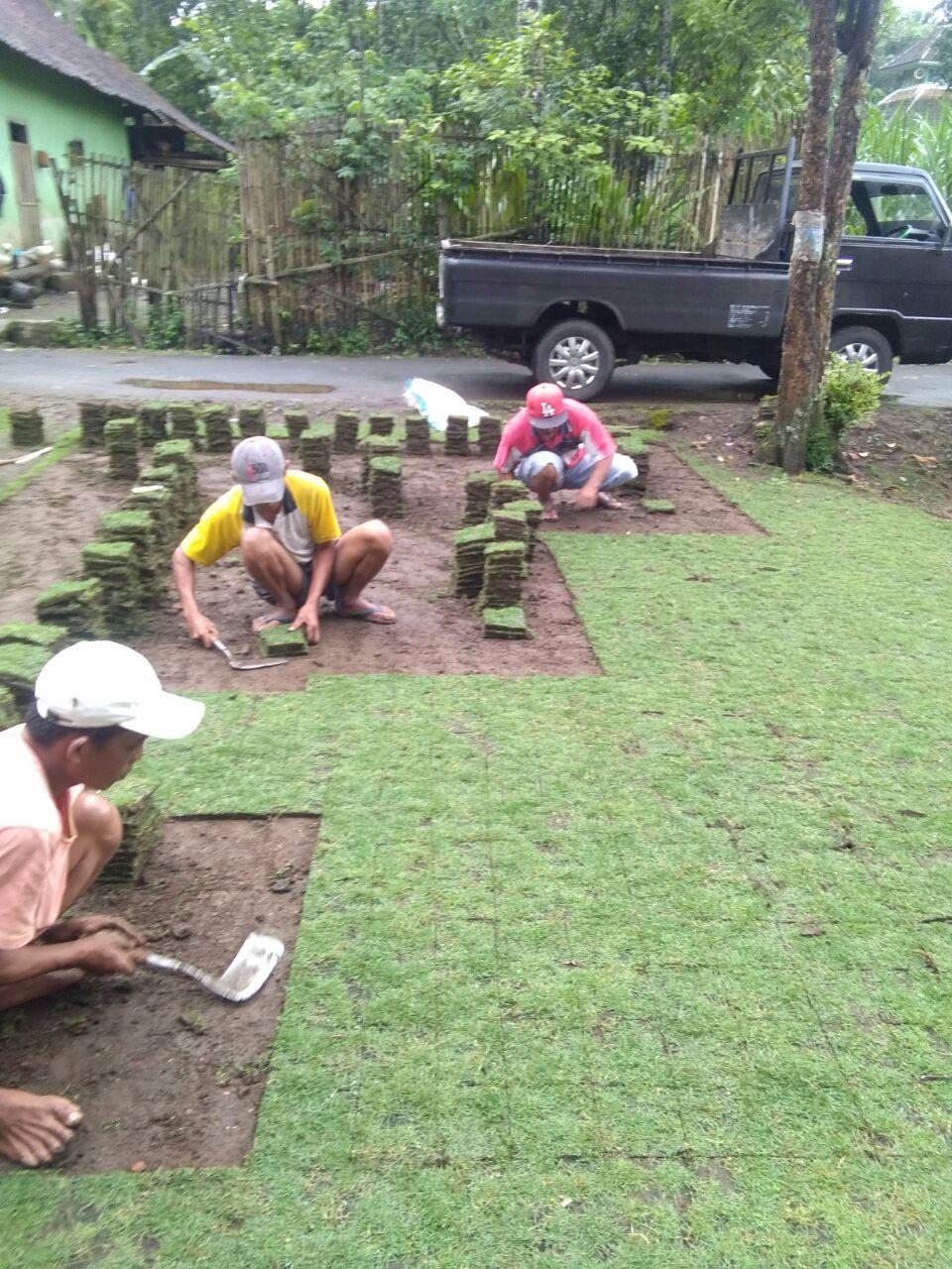 Rumput Jepang Jombang Jatim Untuk Konsumen Penjual Tanaman Hias Biji Suplay Ke Jawa Timur Pesenan Pak Lutfianto Bunga Dibawah Adalah Proses Panen Hingga Dikirim Kios Bunganya