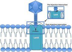 Lambda Phage Discovery Process