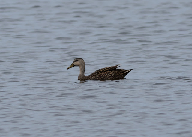 Mottled Duck - Merritt Island, Florida