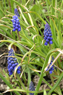 Muscari à grappe - Muscari neglectum