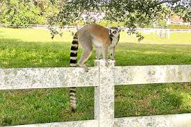 Florida police capture loose lemur, another still on the run|interesting news|