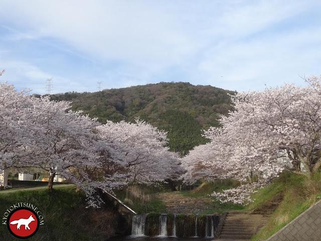 Beau paysage de sakura et montagne à Kyoto